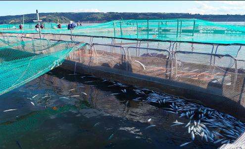 """Estudio científico cuestiona los discursos """"azules"""" a favor del crecimiento de la salmonicultura"""