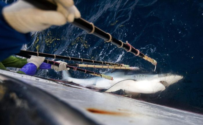 Informe internacional: el mar se queda sin tiburones