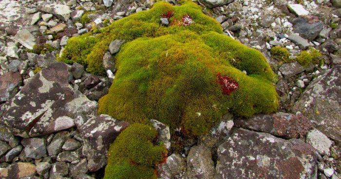 Musgos antárticos podrían ser claves para mejorar la respuesta al cambio climático en cultivos