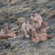 Fotógrafo capta a una mamá puma cuidando de sus cuatro crías en la Patagonia chilena