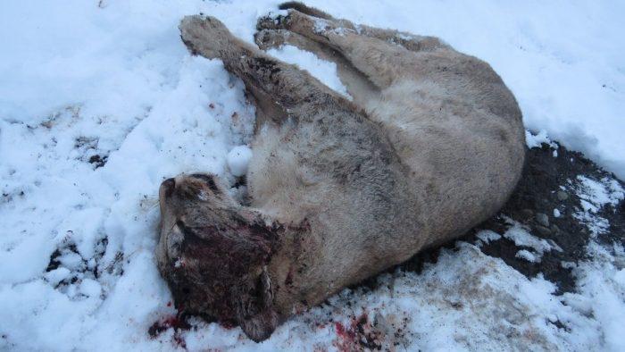 Encuentran puma asesinado en el Parque Nacional Torres del Paine