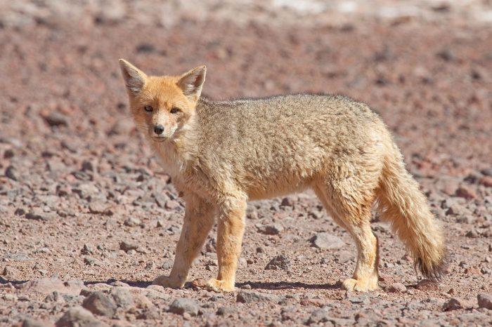 Investigación asegura que zorros culpeo estarían comiendo plástico y vidrio
