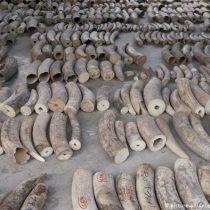 Singapur incauta cargamento récord de 20,7 toneladas de marfil y pangolín