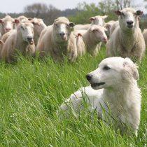 Perro que protege a ovejas en Uruguay podría llegar a Tierra del Fuego