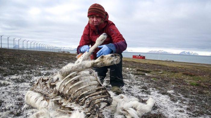 Víctimas del cambio climático: cerca 200 renos muertos fueron encontrados en el Ártico