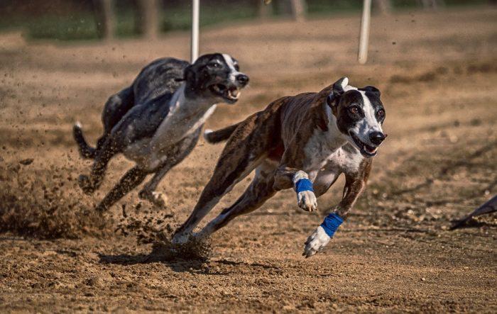 Prohibición de las carreras de perros