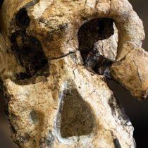 Evolución humana: el intrigante hallazgo de un cráneo que cuestiona las ideas sobre nuestros ancestros