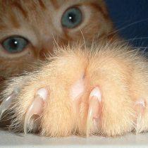 Por qué no se debe extraer las garras a los gatos