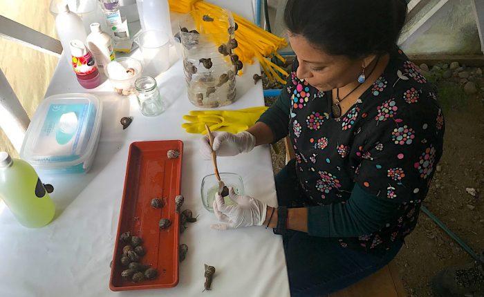 Matrimonio chileno-belga exporta caracoles desde Río Bueno a Europa