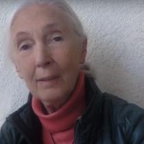 """""""Sería una tragedia"""": la célebre líder ambiental Jane Goodall rechaza el proyecto minero Dominga"""