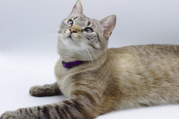 Especialista recomienda esterilizar a los gatos antes de la pubertad