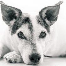 Una mala alimentación puede provocar serios problemas de salud a tu perro