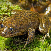 Equipo de rescate evacúa las últimas ranas del Loa de un hábitat peligrosamente seco en Chile