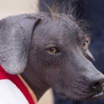 Viringo Peruano: cómo este perro sin pelo se convirtió en patrimonio cultural de Perú