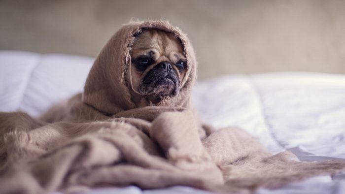 Cuáles son las razas de perros ideales para un departamento
