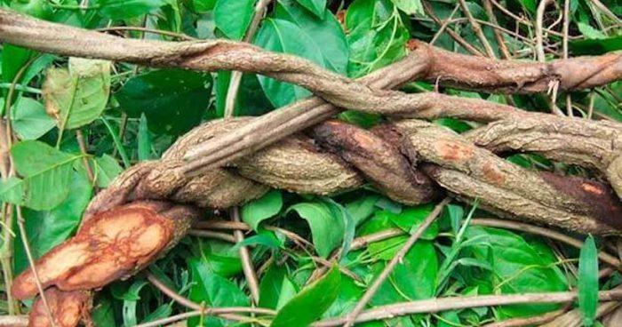 Estudio indicó qué tipos de plantas psicoactivas utilizaba cultura que habitó el norte de Chile hace más de 1000 años