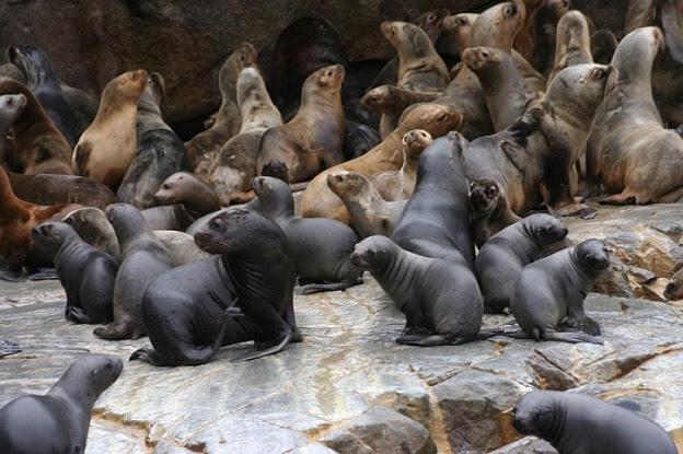 Presentan resultados de primer censo nacional de lobos marinos