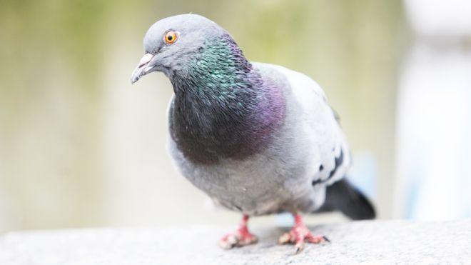 Por qué hay más palomas con las garras mutiladas cerca de las peluquerías