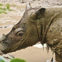 Murió el último rinoceronte de Sumatra que habitaba en Malasia