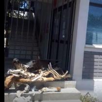 Manifestantes dejan restos de animales en el frontis de la Gobernación de Petorca