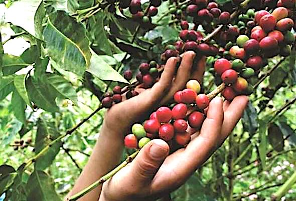 Café Femenino, café que empodera: una experiencia de inclusión social