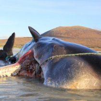 Las impactantes imágenes de un cachalote encontrado muerto con 100 kilos de basura en el estómago