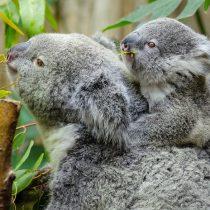"""""""Hasta el 30% de los koalas en la región pueden haber muerto"""": las letales consecuencias de los incendios forestales en Australia"""