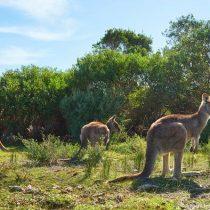 La alarmante caza de canguros para exportar comida para mascotas