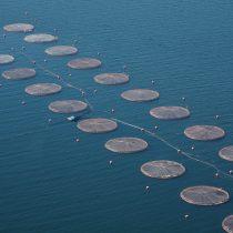 23 mil salmones escapan de centro de cultivo en Chiloé