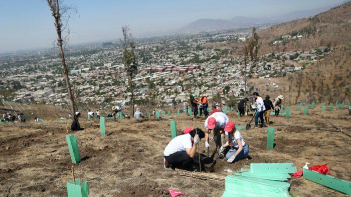 Cómo fue la reforestación más grande de Chile que pudo haberse suspendido