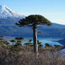 Araucaria araucana se exhibe en la COP25 como parte de los siete bosques más antiguos del planeta