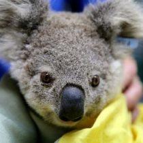Incendios en Australia: los millones de animales que han resultado afectados