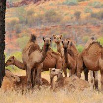 Por qué en Australia están sacrificando a miles de camellos y dromedarios disparándoles desde helicópteros
