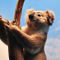 Tras masivos incendios en Australia miles de personas piden trasladar koalas a Nueva Zelanda