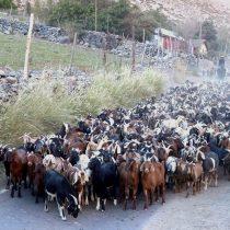 Por graves sequías transportan ganado de Limarí hacia la región de Ñuble