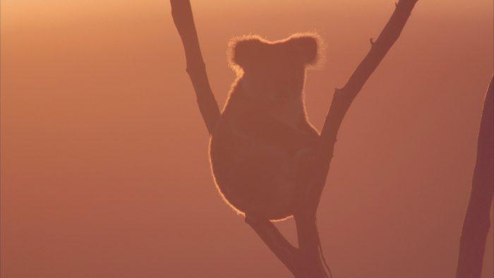 Más de un billón de animales nativos habrían muerto por incendios en Australia