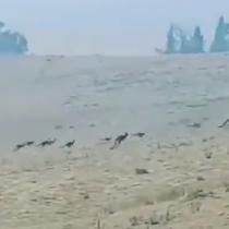 Decenas de canguros escapan de los incendios que azotan el sureste de Australia