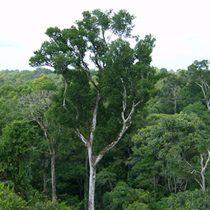 Los árboles de la Amazonía son
