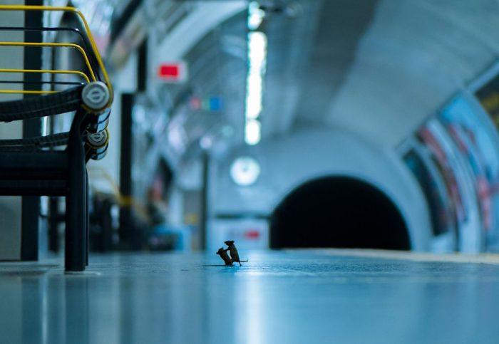 La sorprendente imagen de dos ratones peleando en el metro que ganó el voto popular en un concurso de fotografía de vida silvestre
