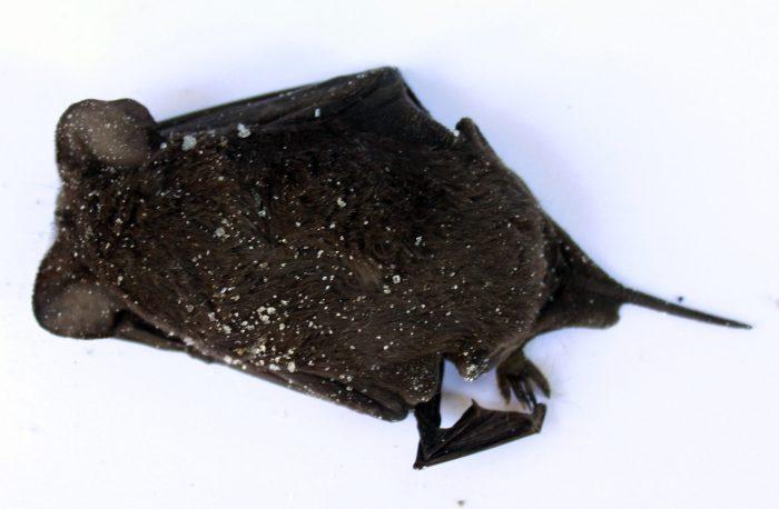 Residentes de Santiago Centro denuncian plaga de murciélagos a través de redes sociales