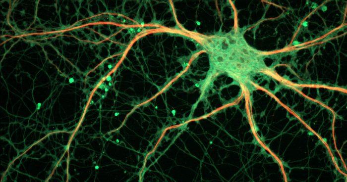 Neurociencias: regenerar neuronas en personas adultas, ¿es eso posible?