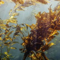 Científica chilena crea el primer mapa de distribución de los bosques submarinos de huiro en el mundo