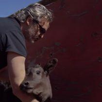 Se difunde video del rescate de una vaca y un ternero en California realizado por Joaquin Phoenix