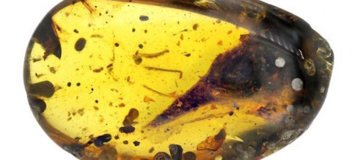 El enigmático fósil del dinosaurio carnívoro más pequeño que un colibrí conservado en ámbar