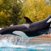 The Whale Sanctuary Project: el santuario para ballenas liberadas del cautiverio que se creará en Canadá