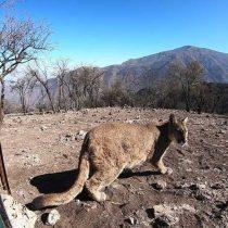 Puma que se paseó por Santiago regresa a la Cordillera de Los Andes