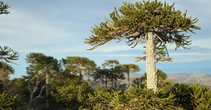 Conaf tala 40 araucarias del Parque Nacional Nahuelbuta
