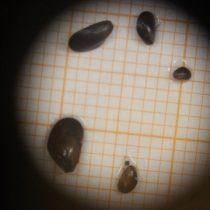 Científica detecta presencia de choritos en la Península Antártica, podrían transformarse en especie invasora
