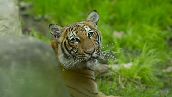 Coronavirus en EE.UU: un tigre del zoológico del Bronx, en Nueva York, da positivo por covid-19