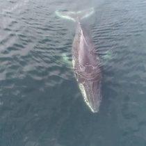 Relevan la importancia de investigar el Estrecho de Gerlache, lugar de alimentación de ballenas jorobadas en la Antártica
